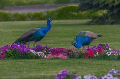 Peacocks in Royal Garden, Vadodara, India