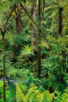 Podocarp forest, Whirinaki Conservation Park, The North Island, New Zealand Ireland Hotels, Ireland Travel, Ireland People, Backpacking Ireland, Frans Lanting, Ireland Weather, Forest Plants, Kiwiana, Earth From Space
