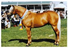 Skyview Stud's palomino Australian stock horse stallion Claredale Champagne Charlie