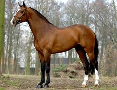 Voltaire - Dutch warmblood