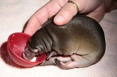 I had no idea what a baby platypus even looked like, let alone that I would want one so bad when I finally saw one!