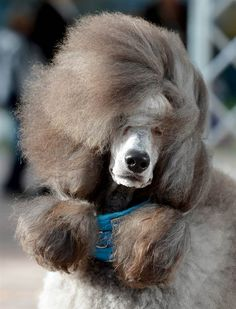 'I hate the wind it always messes my hair up!' ~ The hair of a Standard Poodle blows in the wind during a Pet Fair in Karlsruhe, Germany - Funny Poodle Dog Poodle Hair, Red Poodles, Animal Tracks, Post Animal, Picture Story, Therapy Dogs, Beautiful Dogs, Funny Dogs, Dog Breeds