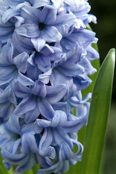 Spring bulbs - Hyacinthus orientalis 'Blue Ice'. These pretty flowers are also deliciously fragranced. Photo by Tim Sandall.