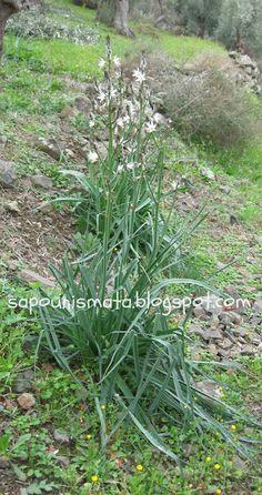 Ασφόδελος. Asphodelus aestivus ή microcarpus Health Fitness, Healing, Herbs, Drinks, Garden, Nature, Flowers, Plants, Therapy