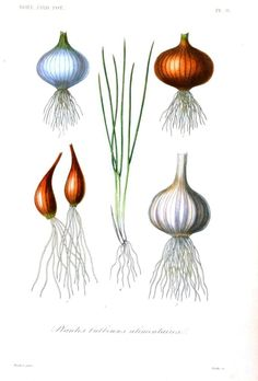 Garlic: Garlic is rich in allicin, a compound found to stimulate the immune system in lab research. Although few studies have examined garlic's effects on the human immune system, some research suggests that garlic may help protect against #colds when taken regularly.  #naturalremedies Image: http://vintageprintable.swivelchairmedia.com/botanical/botanical-fruits-vegetables-other-ingestibles/botanical-root-vegetables-7-onion-garlic/