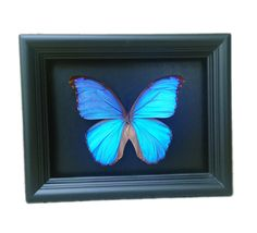 """Real Butterfly Taxidermy Art - Insect Art, Bug Art, Bugs, Insects, Taxidermy, Entomologist, Butterflies, Butterfly Decor, Interior Design, Home Decor. A 6""""x8"""" black wood shadow box frame secures a a real butterfly insect inside. Very unique! All insects come from preservation farms and lived a full life. They were not harmed in any way for our artwork. Information cards will be included to learn more. Real butterfly wings are used after living a full life and preserved into unique, one of…"""