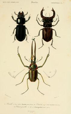 Affiche ancienne / gravures - Lucarnes, scarabée, coléoptère