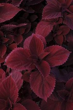 A few hours of direct sun intensifies the colors in new 'Redhead' coleus.