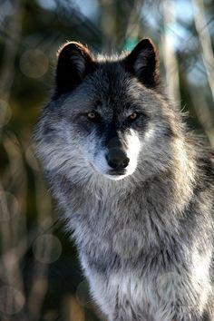 The haunting gaze of the wolf ~ Beautiful Creatures, Animals Beautiful, Cute Animals, Baby Animals, Wolf Spirit, My Spirit Animal, Canis Lupus, Wolf Husky, Wolf Love