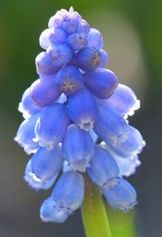 Armenian Grape Hyacinth (muscari armeniacum) by celerycelery