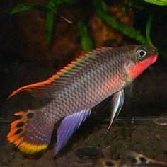 Pelvicachromis taeniatus Nigerian Red male