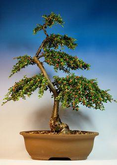 cotoneaster bonsai | Cotoneaster Horyzontalis bonsai - Summer 10' | Flickr - Photo Sharing!