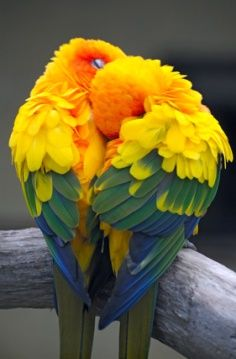 Parrot Love--heart shaped!