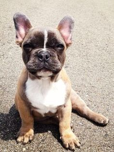 Ivy, the Blue Fawn French Bulldog