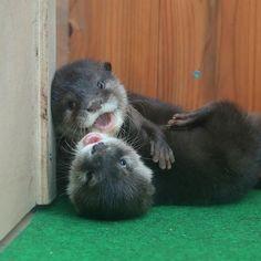Otter pups wrestling