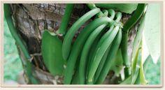 organic vanilla beans growing | vanilla beans growing in their naturally organic environment.