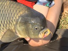 For more great carp pics and carp fishing tips go to www.catsandcarp.com or ,ike us on Facebook at https://www.facebook.com/CatsandCarp