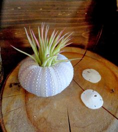 Succulents and sea urchins, via @Loree Bohl