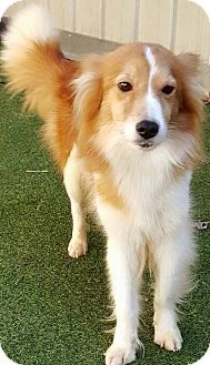 Plymouth, IN - Border Collie. Meet Martinsville -Ginny a Dog for Adoption.