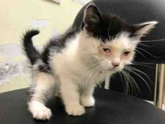 REX – A1108298 - 7wks FEMALE, CONJUNCTIVITIS, WHITE / BLACK, DSH - OWNER ARRESTED - YOUNG KITTEN WITH CONJUNCTIVITIS NEEDS FOSTER
