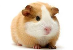 Adorable Guinea pig!