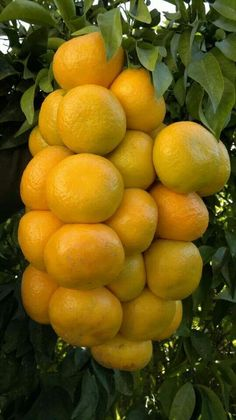Tangerine on branch