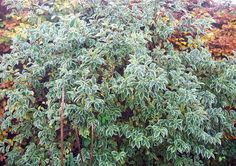 Weigela variegata, still with leaves on, Nov 16.