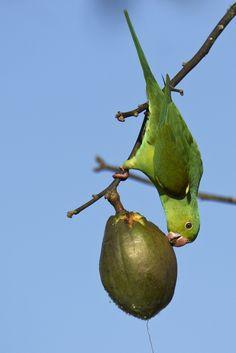 Parrot & ceiba speciosa Parrot, Parakeets, Animal Kingdom, Birds, Feather, Other, Parrot Bird, Parrots