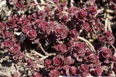 Sedum spurium 'Purple Carpet' hardy in zones 4-9 June-July bloom