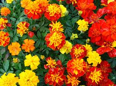 200 Seeds Mixed Chrysanthemum Perennial Flowering Rose Pink Orange Yellow Red Marigold Seeds Long L July Flowers, Blooming Flowers, Garland Wedding, Wedding Flowers, My Flower, Flower Power, Language Of Flowers, Edible Garden, Summer Garden