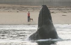 This is the moment a huge humpback whale emerged from water close to the California coastline startling a passing dog