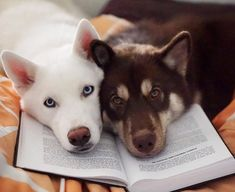 Wonderful All About The Siberian Husky Ideas. Prodigious All About The Siberian Husky Ideas. Buy A Kitten, Kitten Care, Buy A Cat, Husky Mix, Husky Puppy, I Love Dogs, Cute Dogs, Awesome Dogs, Cat Site