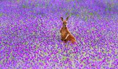 Kangaroo in a lavender field.