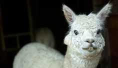 Trimming teeth of an alpaca is a basic procedure that the animal will tolerate well if handled with care.