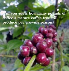 Can you Guess?  How many pounds of coffee can a mature coffee tree produce in one growing season?  Want to know more Coffee Trivia?