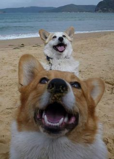 """Corgis on the beach - The natural phenomenon known as a """"Corgi Totem"""" occurs frequently in nature..."""
