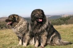 sarplaniac photo | Meet the Sarplaninac Dog, learn about its puppies and more!