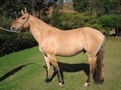 Cavalos: Raça Campolina