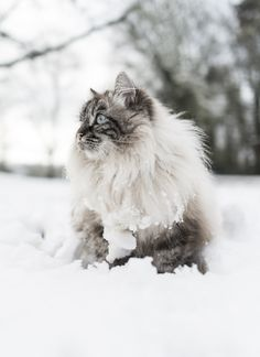 kitty cats, white cats, snow cat