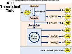 ATP Yield - Glycolysis + Kreb Cycle