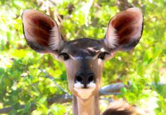 Female Kudu, Moremi Game Reserve. Photo by Marie-Soleil Le Houillier