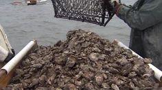 Virginia Announces Best Oyster Harvest Since 1987 - Associated Press