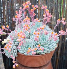 Vigorous, award-winning Echeveria derenbergii (Painted Lady) is an evergreen suc. - Vigorous, award-winning Echeveria derenbergii (Painted Lady) is an evergreen succulent with small r - Cool Plants, Cactus Plants, Garden Plants, House Plants, Small Cactus, Weird Plants, Unusual Plants, Succulent Gardening, Planting Succulents