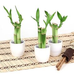 Lucky Bamboo Wedding Favors at easternleaf.com