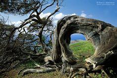Sabinar, Isla de El Hierro, Canarias Island Beach, Small Island, Tenerife, Juniper Bonsai, Unique Trees, Forest Garden, Canary Islands, Naturally Beautiful, Amazing Nature