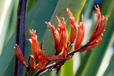We have a great selection of New Zealand Flax (Phormium) in the nursery at Westport Winery. The ones in front of the winery are getting ready to bloom. Open daily 11-7.