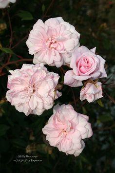 Cecile Brunner Rose | Full size picture of Hybrid China Rose 'Cecile Brunner, Cl.' ( Rosa )