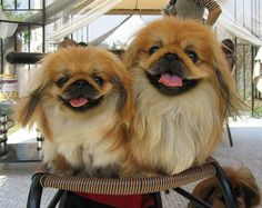 The only thing better than a pekingese - 2 pekingese!
