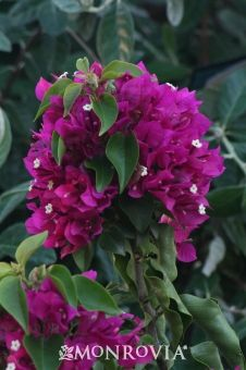 Monrovia's Raspa Raspberry Bougainvillea details and information. Learn more about Monrovia plants and best practices for best possible plant performance.