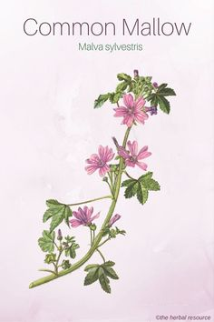 Herbal Remedies Common Mallow - Medicinal Herb - Side Effects and Health Benefits of the Medicinal Herb Common Mallow (Malva sylvestris) and Its Therapeutic and Tradtitional Uses in Herbal Medicine Herbs For Health, Healthy Herbs, Herbal Plants, Medicinal Plants, Natural Herbs, Natural Healing, Natural Medicine, Herbal Medicine, Wild Edibles